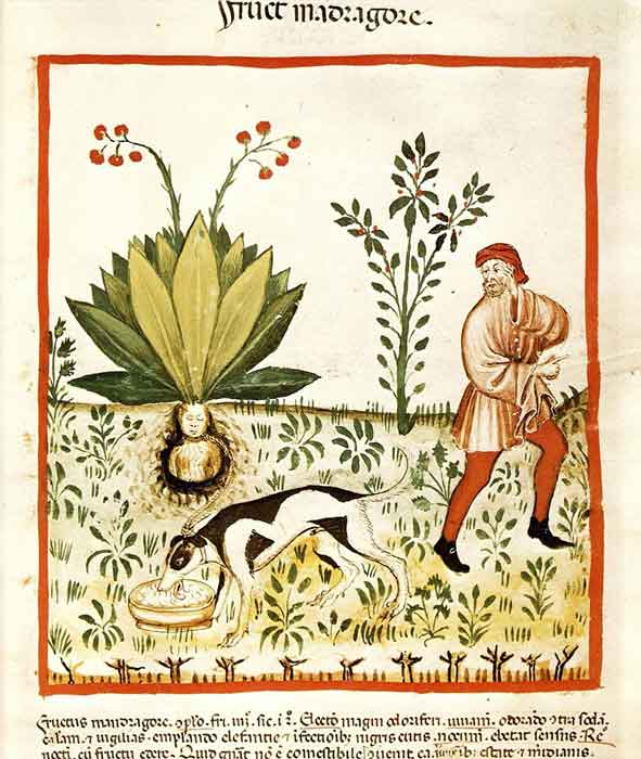 Tacuinum_Sanitatis_Mandrake_Dog